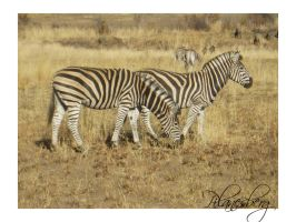 Zebras.. by arween