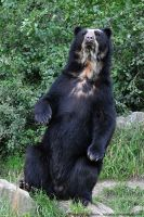 Spectacled Bear (001) by Sikaris