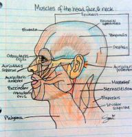 Muscles of Head Face and Neck by SnowBnny