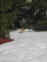 orange cat in snow 03 by CotyStock