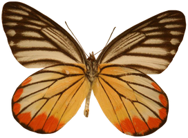 Orange-Yellow Butterfly Precut Stock by Cowgirl-Kate