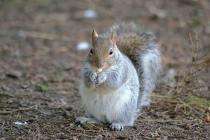 Grey squirrel by KerrieLBrown