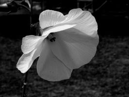flower in B and W by chrisravensar