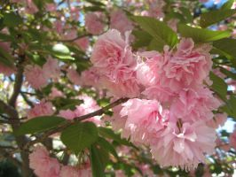 Pink tree blossoms by Reyphotos