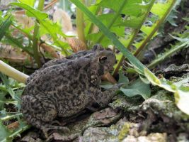 Common Toad by LongHomeFox