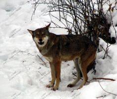 Red Wolf by KAKruger