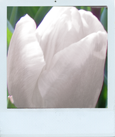 white tulips by lilithStyle