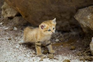 Chat des Sables by Talos-X