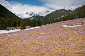 A Field of Crocus by siliel