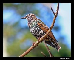 The Starling by carterr