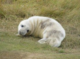 Donna Nook Seal 22 by Queenselphie