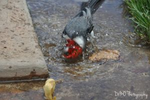 Red Crested Cardinal IV (The Head Shake) by AllAboutDianne