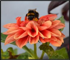 Bumblebee on Dahlia by CaryAndFrankArts