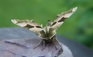 Lime hawk moth by beortheold