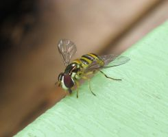 Hoverfly 11a by Windthin