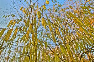 raining catkins by stuartreading