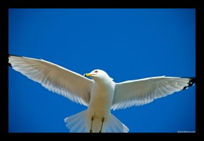 Seagull 1 by martinshiver