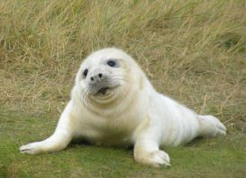 Donna Nook Final Seal 25 by Queenselphie