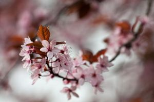 Cherry blossom 4 by Jay-Co