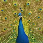 Peacock by RobynCutts