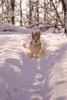 Corgi on a winter's day V by uudii