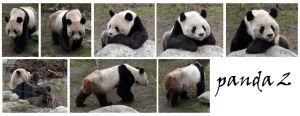 panda 2 pack by syccas-stock