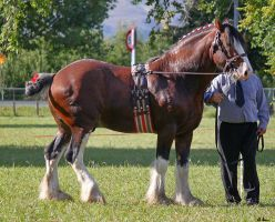 Clydesdale 6 by Sooty-Bunnie