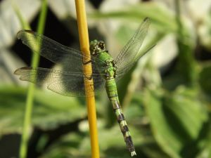Eastern Pondhawk by AppleBlossomGirl