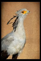 Secretary Bird by rgphoto777