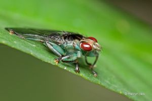 Louse Fly by melvynyeo