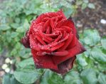 Large Dewed Rose by marizella