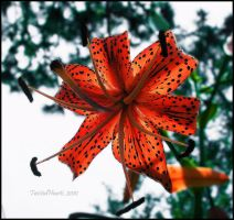 Dear, Tiger Lily by TwistedHearts
