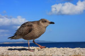 Young seagull against blue sky by pelvidge