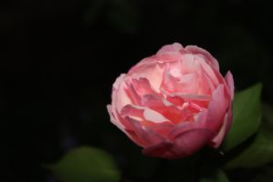 Pink Rose 1489 by fa-stock
