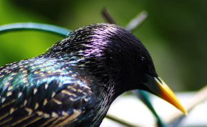 European Starling 2 by S-H-Photography