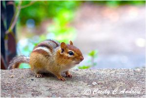 Chipmunk by CecilyAndreuArtwork