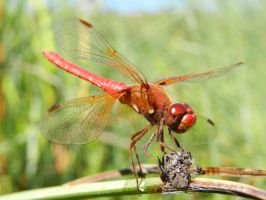 Red Cardinal Dragonfly Posing by Samela7