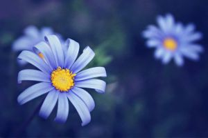 Periwinkle by LevisPhotography
