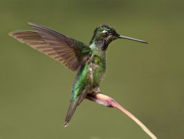 Touchdown - Magnificent Hummingbird by Jamie-MacArthur
