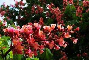Red Horse Chestnut Blossom by EarthHart