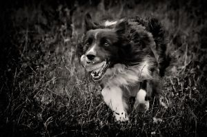 Border Collie At Work by AndersStangl