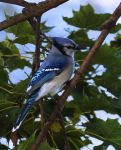 Bluejay by barcon53