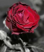 Old Rosey by K4yl3ighM
