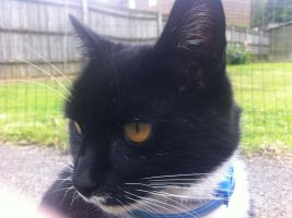 Blue collar Black and White cat close up by FFDP-Neko