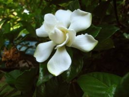 Gardenia by looking-for-hope