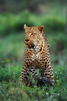 Leopard 7 by catman-suha