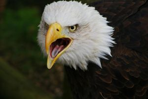 Bald Eagle Cry. by fruitnfibrestock