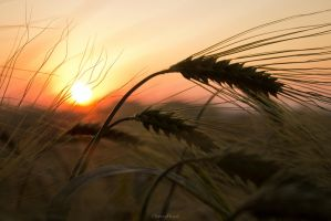 Sunset Wheat III by ChewyFloyd