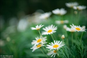 Oxeye Daisy - 01 by shiroang