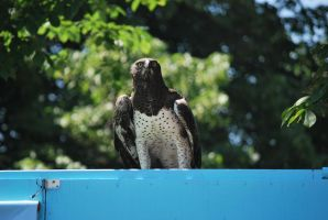 martial eagle 1.8 by meihua-stock
